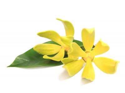 Ylang-Ylang Complète